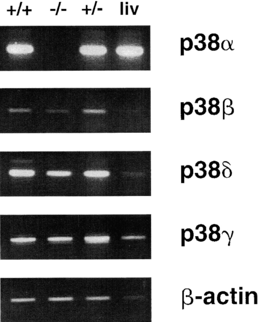 Expression of the four murine p38 isoforms and β-actin in wild-type (+/+) ES cells, wild-type liver (liv), p38α-deficient (−/−) ES cells, and p38α heterozygous (+/−) ES cells. The observed RT-PCR product sizes agreed with the predicted values and are as follows: p38α, 368 bp; p38β, 430 bp; p38δ, 354 bp; p38γ, 632 bp; and β-actin, 540 bp.