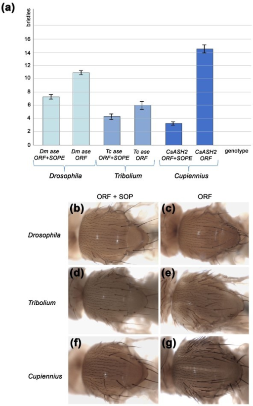Comparison of the number of ectopic bristles (macrochaetes) displayed by transgenic flies after ectopic expression. UAS constructs containing D. melanogaster ase, T. castenum ase and C. salei CsASH2 (ORF alone or the entire transcribed region (ORF+SOPE) of ase or CsASH2) were each crossed to four different Gal4 drivers allowing expression in different parts of the thorax (see Materials and methods). (A) The number of ectopic bristles was counted in the respective Gal4 expression domains of each of the driver lines. Columns give the number of ectopic bristles and data from all four crosses have been pooled for each UAS construct (UAS-ORF+SOPE or UAS-ORF). The number of ectopic bristles is significantly reduced in flies carrying the UAS-ORF+SOPE constructs (see Additional file 4 for details). The error bars give the standard error of the mean. (B-G) Thoraces illustrating the phenotypes obtained: (B, C) ptc-Gal4 > UAS Dm-ase; (D, E) sca-Gal4 > UAS Tc-ase; (F, G) MD806-Gal4 > UAS CsASH2.