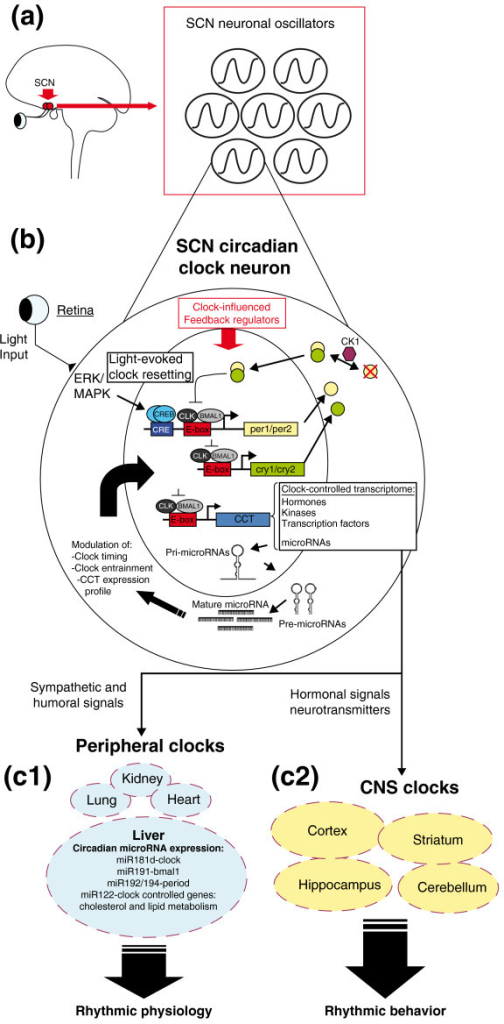 a short overview of the circadian rhythm Webmd explains circadian rhythm disorders and how they can affect your health and sleep patterns.