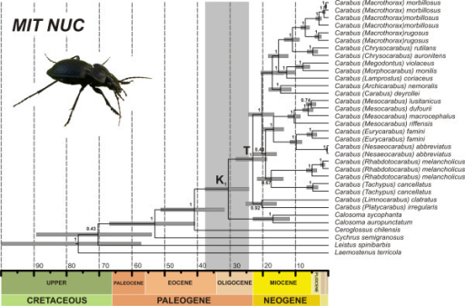 Ultrametric time-calibrated tree for combined DNA markers (MIT-NUC dataset) of Carabidae. Analyses were conducted in BEAST including outgroups, partitioning by gene, with two partitions for coding genes (first and second codon positions together) and applying a relaxed ULN clock. Node support is given as Bayesian posterior probabilities. Grey bars on nodes represent the 95% confidence intervals for node ages in Ma. The vertical grey bar shows the 95% HPD interval for the split between Carabus and Calosoma.