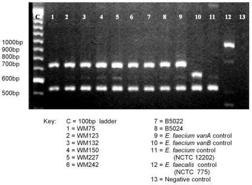 Polymerase chain reaction analysis of vancomycin-resistant enterococci isolates for glycopeptide resistance genotypes and species identification.