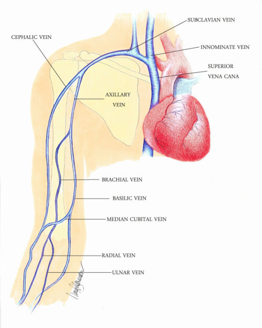 Upper extremity veins with labels. | Open-i