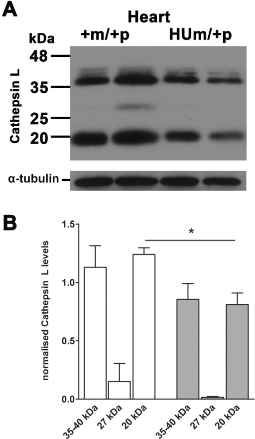 Embryonic heart Cathepsin L protein levels following maternal transmission of Igf2r+m/HUp(A) Western blots of Cathepsin L in mouse embryos at day E18.5. (B) Densitometry of protein levels normalised to α -tubulin loading control. Levels of cathepsin L were reduced in hearts of embryos with a humanised maternal allele (HUm) (P<0.05).
