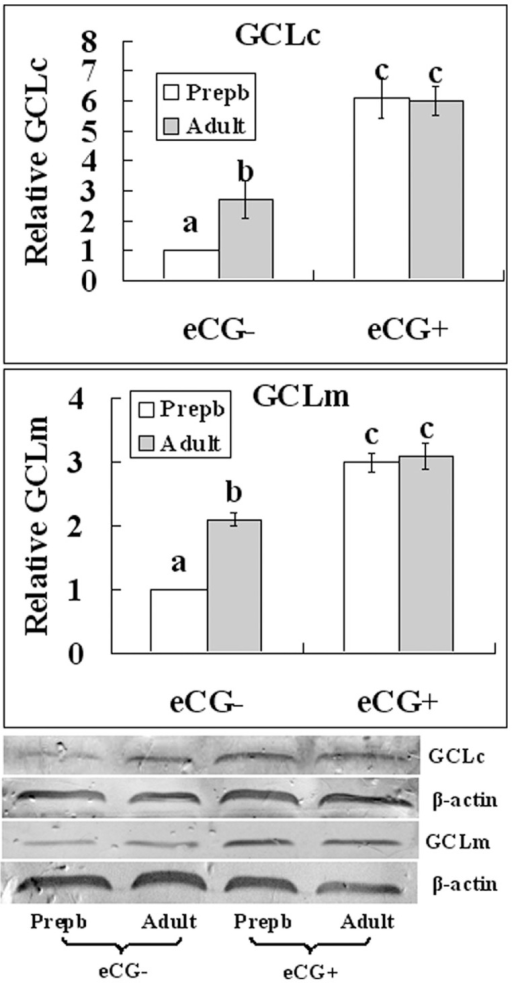 Relative levels of catalytic subunit (GCLc) and modifier subunit (GCLm) of the γ-glutamylcysteine ligase in mouse GV-stage oocytes recovered from unstimulated (eCG−) or eCG-primed (eCG+) prepubertal (Prepb) or adult mice.Results from Western blotting. Each treatment was repeated 3 times and each replicate contained about 500 oocytes. a–c: Values without a common letter above their bars differ (P<0.05) within panels.