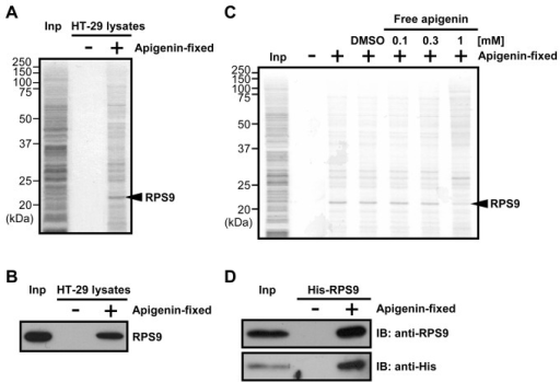 Apigenin directly binds to RPS9.(A) Apigenin-binding proteins were purified from whole cell extracts of HT-29 cells with apigenin-fixed (+) or empty (-) beads, and detected by silver staining. Mass spectrometry analysis identified RPS9 as an apigenin-binding protein. Inp: Whole cell extracts of HT-29 cells. (B) Confirmation of mass spectrometry analysis by immunoblotting with an anti-RPS9 antibody. Inp: Whole cell extracts of HT-29 cells. (C) Competition binding assay. The indicated concentrations of free apigenin were added to HT-29 cell extracts. After 1 hr, the extracts were incubated with apigenin-fixed (+) or empty (-) beads. Apigenin-binding proteins were purified and detected by silver staining. Inp: Whole cell extracts of HT-29 cells. (D) Purified recombinant His-RPS9 was incubated with apigenin-fixed (+) or empty (-) beads, and bound His-RPS9 was detected by immunoblotting with anti-RPS9 and anti-His antibodies. Inp: Purified recombinant His-RPS9.