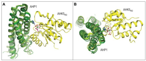 Three-dimensional structure of the AHK5RD-AHP1 complex from Arabidopsis thaliana (PDB 4EUK), consisting of the histidine-containing phosphotransfer (AHP1, green) and kinase (AHK5RD, yellow) region, is shown in two orthogonal orientations. The structure of the complex in panel A is rotated by approximately 90 degrees to produce a view shown in panel B. The mechanism of intermolecular phosphotransfer mediated by the Arabidopsis AHK5RD-AHP1 complex. Maize ZmHP2 (PDB 1WN0, smudge green), Medicago truncatula MtHPT1 (PDB 3US6, limon green) and rice OsHPT (PDB 1YVI, forest green) are superposed over the Arabidopsis AHP1. The His in AHP1 and Asp in AHK5RD residues that respectively donate and accept a phosphoryl group are shown in sticks in atomic green and yellow colors, respectively. The octahedral coordination geometry of Mg2+ (green sphere) participating in the phosphotransfer reaction is indicated by black dashes (atomic distances between 1.9 Å and 2.0 Å), where Mg2+ is coordinated by Asp from AHK5RD, three water molecules (red spheres) and two other residues (Asp and Cys) of AHK5RD. The distance of 3.4 Å between His from AHP1 and one of the water molecules is also shown.