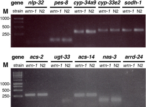 Examples of RT-PCR products on 2% agarose gel. Results are shown for nlp-32, pes-8, cyp34a9, cyp-33e2, sodh-1, acs-2, ugt-33, acs-14, nas-3, and arrd-24 genes after 40 cycles of PCR. M = marker in base pairs; N2 = wild type strain; wrn-1 = wrn-1(gk99) C. elegans strain.