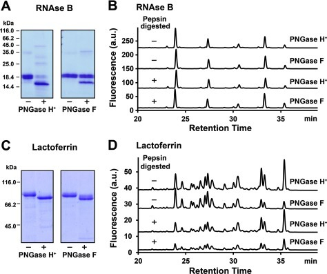 Substrate specificity tests of recombinant PNGase H+ using RNase B and lactoferrin(A) SDS/PAGE analysis of heat denatured RNase B with (+) and without (−) PNGase H+ and F. (B) UPLC chromatographs of N-glycans released from RNase B. PNGase F was chosen as control. Heat denatured RNAse B and pepsin digested RNase B were used as substrates. (C) SDS/PAGE analysis of heat denatured lactoferrin with (+) and without (−) PNGase H+ and F. (D) UPLC chromatographs of N-glycans released from lactoferrin. PNGase F was chosen as control. Heat denatured lactoferrin and pepsin digested lactoferrin were used as the substrates.