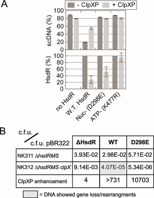 Proteolysis of HsdR is dependent on translocation and not DNA cleavage. (A) Quantified data from 60-min reactions on pLKS5 in the presence or absence of ClpXP, and with EcoKI MTase without HsdR, with wild-type HsdR or with HsdRs mutated in either a nuclease (Nuc-) or ATPase (ATP-) motif. Standard deviation error bars from three repeat experiments. (B) Transformation screen to measure RA by ClpXP. Colony forming units (c.f.u.) were measured in separate transformation reactions using pBR322 or plasmids carrying the complete EcoKI operon (WT), the genes for the MTase alone (ΔHsdR) or the EcoKI operon with an HsdR mutated within the nuclease domain (D298E). The first two rows show the quotient of the c.f.u. for the EcoKI plasmid and pBR322 in strains with active ClpXP (NK311) or without active ClpXP (NK312). The third row is the quotient of the transformation efficiency in the presence and absence of ClpXP, with elevated values indicating ClpXP-dependent RA. The grey box indicates that plasmid preparations from the successful transformants showed loss of DNA in 100% of cases examined. The smaller DNA could retransform NK312 more efficiently than the original DNA, indicating loss of EcoKI activity.