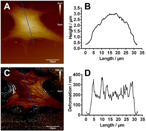 Representative AFM images of normal SH-SY5Y cells.(A) AFM height image and (B) height profile across the section line as marked in (A). The height of the cell is approximately 3 μm. (C) AFM deformation image and (D) deformation profile across the section line as marked in (C). The average deformation of the cell is about 250 nm. (scale bar: 10 µm).