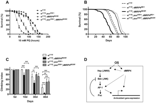 Extending lifespan of dMRP4 deficiency by a mild increase in JNK signaling under both paraquat resistance and normal condition.Flies heterozygous for puc (pucE69/+) were significantly resistant to paraquat-induced oxidative stress (A) and had a remarkably longer lifespan under non-stress condition (B) compared to controls. (A) The lifespan of dMRP4 mutant flies (dMRP4M2/M1) under paraquat stress was compared to control (w1118) and puc, dMRP4 double mutant flies (pucE69/+, dMRP4M2/M1). Each group represented 180 flies. (B) The lifespan of dMRP4 mutant flies (dMRP4M2/M1) under normal condition was compared to controls (dMRP4M2/+ and w1118) and puc, dMRP4 double mutant flies (pucE69/+, dMRP4M2/M1). The mean lifespan (50% mortality) was 48 days for dMRP4M2/M1 (n = 360), 62 days for heterozygous control dMRP4M2/+ (n = 360), and 67 days for w1118 (n = 300), 83 days for pucE69/+, dMRP4M2/+ (n = 320), and 79 days for pucE69/+, dMRP4M2/M1 (n = 360). The maximum lifespan (90% mortality) was 62 days for dMRP4M2/M1, 75 days for heterozygous control (dMRP4M2/+), 93 days for flies pucE69/+, dMRP4M2/+), 77 days for w1118, and 88 days for flies (pucE69/+, dMRP4M2/M1). (C) The locomotor defect, indicated by negative geotaxis performance, of dMRP4 mutant flies was completely restored by pucE69/+. Each column was derived from a pool of 80–100 male flies with indicated ages. Student's t-test: ** p<0.01, *** p<0.001. Error bars were S.D. (D) A model for role of dMRP4 in JNK-mediated oxidative resistance and lifespan extension. Paraquat-induced oxidative stress (OS) was sensed through JNK and dMRP4, respectively. The OS signaling may then be converged at levels of the AP-1 transcription factors, the major target of JNK, because dMRP4 is necessary and sufficient for transcription of some JNK-dependent antioxidant genes and because genetic manipulation of puc can fully rescue dMRP4 mutant phenotypes under both oxidative and normal conditions. However, it is also possible that dMRP4 is required for JNK to fully respond to OS at any levels upstream of AP-1. Involvement of dMRP4 in regulation of other JNK-independent antioxidant genes cannot be excluded. The solid arrows represent the work from published studies, and dash arrows indicate the work from this study.