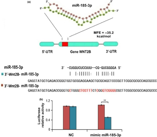 MiR-185-3p directly targets the coding region of WNT2B. (a) The potential second structure of WNT2B and miR-185-3p and the minimum free energy required for this hybridization. (b) A mutation was generated in the WNT2B coding region. In particular, the mutation was located in the complementary site for the seed region of miR-185-3p as indicated. The wild-type WNT2B coding region and mutant WNT2B coding region were subcloned into a luciferase reporter construct, as shown. Relative luciferase activity in 5-8F cells was determined after the WNT2B coding region or mutant plasmids were co-transfected with miR-185-3p mimics or a negative control (**P < 0.01).