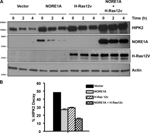 Ras/NORE1A stabilizes HIPK2 protein. (A) HEK-293 cells were transfected in triplicate with HIPK2, NORE1A, and activated H-Ras expression constructs. The cells were treated with cyclohexamide and one dish lysed at each time point. Levels of protein were determined by immunoblot (IB). A representative blot is shown. Relative decay of HIPK2 levels over 4 h was determined by quantification of the band intensity from multiple experiments (n = 3) and is shown below in B. Error bars show SD.