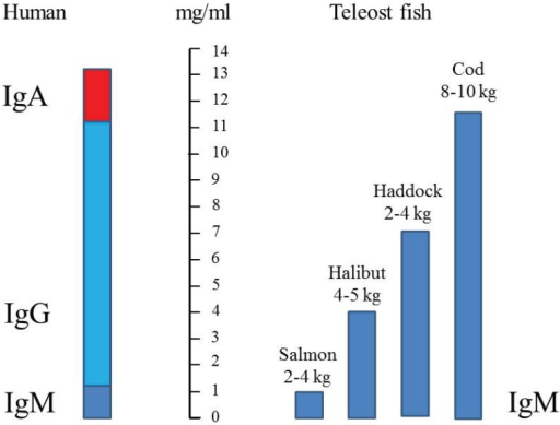 Comparison of serum immunoglobulin (IgM) concentrations in different teleosts [40] compared to human (IgM + IgG + IgA). IgM is indicated with dark blue, IgG with light blue and IgA with red.