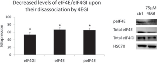 Decreased levels of eIF4E/eIF4GI upon their disassociation by 4EGIMM cell lines were treated with 4EGI (75 μM, 72 h) and immunoblotted for eIF4GI and peIF4E/Total eIF4E. Representative immunoblots (representative bands, right) and graphic presentations (Average value of MM cell lines, left, mean ± SE) are presented. HSC-70 served as a loading control. Statistically significant differences (*; p < 0.05, **; p < 0.01) are depicted.