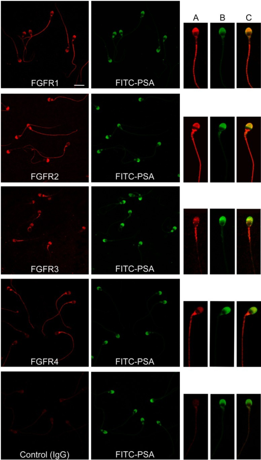 Localization of FGFRs in human sperm.Sperm cells were stained with anti FGFR1, FGFR2, FGFR3 and FGFR4 or rabbit IgG and a secondary antibody labeled with Cy3. The corresponding fields stained with FITC-PSA to assess acrosomal status are shown. Bar: 10 μm. On the right, a representative image of individual sperm is depicted; (A) sperm stained with anti FGFR antibody and Cy3-conjugated secondary antibody, (B) FITC-PSA, (C) merge.