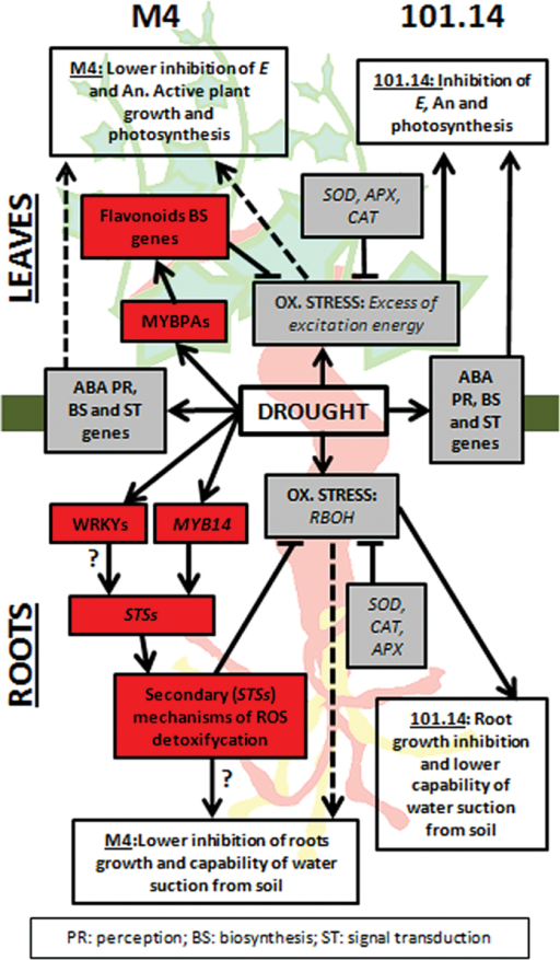 Hypothetical model summarizing the events occurring in leaves and roots of M4 and 101.14 upon WS. Grey and red boxes list molecular responses to WS that are common to both genotypes and M4 specific, respectively. White boxes report physiological events associated with WS occurring in root (lateral roots growth and water suction from soil) and leaves (transpiration, E; net-assimilation, An; photosynthesis) of both genotypes. Dashed lines indicate the lower impact of WS on the physiological events in roots and leaves observed in M4.