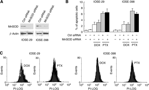Inhibition of manganese superoxide disumutase (MnSOD) does not sensitise chemotherapy-induced apoptosis in non-transformed OSE cells. IOSE-29 and IOSE-398 cells were transfected with non-specific control (Ctrl small-interfering RNA, siRNA) or MnSOD siRNA in the presence or absence of doxorubicin (DOX, 5 μM) or paclitaxel (PTX, 0.1 μM) for 48 h. (A) Expression of MnSOD protein was analysed by western blotting. β-Actin serves as a protein-loading control. (B) Apoptosis was assessed by the terminal deoxynucleotidyl transferase-mediated dUTP nick-end labelling (TUNEL) assay. Experiments were repeated three times, and data are shown as mean±s.d. (C) O2•− level of DOX- and PTX-treated cells was measured by flow cytometry analysis using dihydroethidium. Solid histogram, untreated cells; open histogram, DOX- and PTX-treated cells.