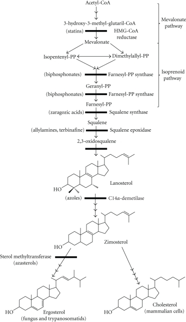 The biosynthesis of ergosterol and cholesterol showing the main steps, the enzymes involved, and the known inhibitors.