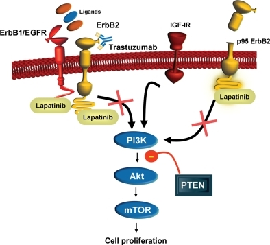 ErbB2 cellular signaling pathways and lapatinib mechanism of action. ErbB2 (HER2) is a transmembrane tyrosine kinase activated by dimerization with itself or other ErbB proteins (i.e. ErbB1, ErbB3). Binding of ErbB1 ligands to ErbB1 stimulates heterodimerization with ErbB2 and activation of downstream signaling pathways, including PI3K, Akt protein kinase and mTOR, resulting in an increase in cell proliferation. The PTEN protein has tumor suppressor activity in this signaling pathway and loss of PTEN, as well as upregulation of IGF-1R signaling, is associated with trastuzumab resistance. Lapatinib blocks the activation of the ErbB2 signaling pathway by inhibiting the intracellular tyrosine kinase of ErbB1 and ErbB2 and may circumvent trastuzumab resistance associated with upregulation of IGF-1R signaling. Lapatinib also binds to the p95 truncated variant of ErbB2 (p95 ErbB2) and inhibits cell proliferation in trastuzumab-resistant cells expressing p95 ErbB2. ErbB1, human epidermal growth factor receptor 1 (EGFR); ErbB2, human epidermal growth factor receptor 2 (ErbB2); IGF-1R, insulin-like growth factor-1 receptor; PI3K, phosphatidylinositol-3-kinase; PTEN, Phosphatase and tensin homolog deleted on chromosome 10; mTOR, mammalian target of rapamycin.
