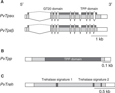 Schematic representation of desiccation-inducible genes isolated from P. vanderplanki. (A) Genomic structures of PvTpsα and PvTpsβ. Exons are indicated by boxes (shaded boxes corresponding to ORF) and introns by straight lines. Filled bars indicate representative motifs encoded in the genes. (B, C) Diagrams of cDNAs of PvTpp and PvTreh, respectively. Shaded regions indicate ORF. Filled boxes represent consensus motifs encoded in the nucleotide sequence. Scale bars are displayed at the bottom right of each diagram.