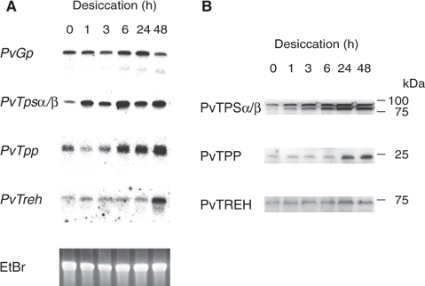 Expression profiles of mRNAs and proteins of the genes involved in trehalose metabolism during desiccation. Total RNA and protein were prepared from larvae treated under desiccation conditions, and analyzed by northern blotting (A) and western blotting (B).