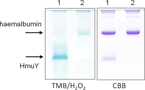 SDS-PAGE showing the formation of the HMuY-haem complex after incubation with human methaemalbumin.Methaemalbumin (16 µM) was with either 16 µM HmuY (track 1) or alone (track 2) for 5 h at 37°C, electrophoresed under non-reducing and then stained for the presence of haem with TMB/H2O2 before counterstaining for protein with CBB. Note the depletion of TMB/H2O2 staining for haem of the methaemalbum band in track 1 after exposure to HmuY.