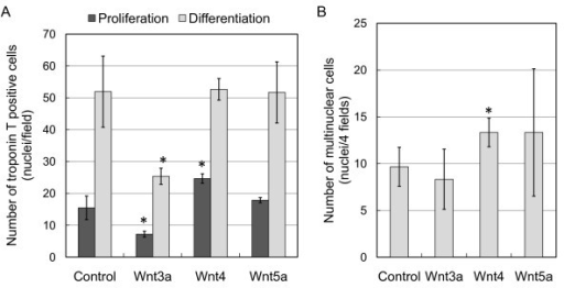 Wnt4 promotes myogenic differentiation and induces fusion of C2C12 cells. (A) Troponin T expression after 3 day culture in proliferation or differentiation medium with recombinant adenoviruses expressing Wnt3a, Wnt4, Wnt5a or eGFP (control). Cell numbers are the means and standard deviations of three independent experiments performed in triplicate, *P < 0.01 vs. control. (B) Differentiated myotubes were evaluated by counting nuclei within fused multinucleated cells expressing troponin T. Four fields in triplicate cultures were used for counting fused cells cultured under a differentiation condition, *P < 0.04 vs. control.