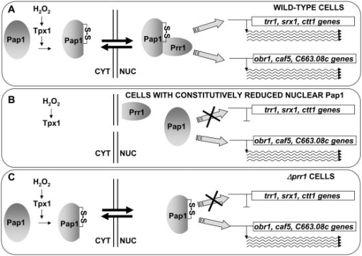 Association of oxidized Pap1 and Prr1 is required for the activation of the antioxidant, but not the drug resistance, genes. (A) In wild-type cells, oxidation of Pap1 upon H2O2 stress induces its nuclear accumulation and its association with Prr1. The heterodimer is then able to activate both sets of promoters, the antioxidant (trr1, srx1, ctt1) and the drug resistance (obr1, caf5, c663.08c) genes. (B) In cells defective in Pap1 export (such as cells lacking Hba1 or expressing Pap1.C523D), the transcription factor cannot be oxidized by H2O2, cannot associate with Prr1 and can only trigger transcription of the drug resistance genes. (C) Similarly, in cells lacking Prr1, H2O2-oxidized Pap1 will only be able to activate drug resistance genes.