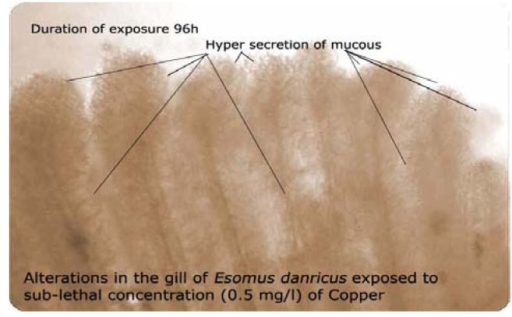Alterations in gill of Esomus exposed to sub-lethal concentration (0.55mg/L) of copper