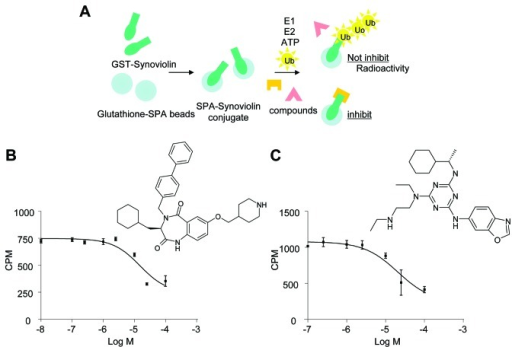 Screening for synoviolin inhibitors. (A) Scheme of high-throughput screening ofsynoviolin-induced ubiquitination assay. (B) Inhibition of synoviolin33P-polyubiquitination by LS-101 and chemical structure of LS-101. (C)Inhibition of synoviolin 33P-polyubiquitination by LS-102 and chemicalstructure of LS-102.