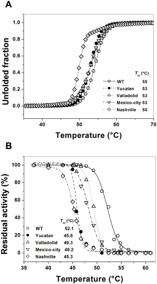 Thermal stability of human G6PD enzymes. (A) Thermal unfolding of WT G6PD and the mutants (0.8 mg/mL) in 25 mM NaPO4 pH 7.4 was monitored by recording the change in CD signal at 222 nm at different temperatures ranging from 20 to 90 °C. The unfolded fraction of protein and the Tm (melting temperature midpoint of the transition values) (inset) were calculated as previously reported [22]; and (B) Thermal inactivation assays of WT G6PD and the mutants after incubation for 20 min at the indicated temperature. The T50 (temperature where 50% of its original activity is retained) after incubation at different temperatures for 20 min is shown. In all cases, 200 ng of total protein was used. The assays were performed in duplicate; standard errors were lower than 5%.