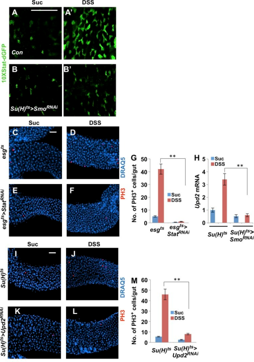 Hh signaling is required for DSS-stimulated Upd2 expression. (A–B′) Expression of 10XStat-dGFP in adult midguts expressing Su(H)ts (Con; A and A′) or Su(H)ts>SmoRNAi (B and B′) and treated with Suc or DSS for 1 d. (C–F) Adult female flies expressing esgts or esgts>StatRNAi for 8 d at 29°C were treated with Suc or DSS for 1 d before midguts were dissected out and immunostained for PH3 and DRAQ5. (G) Quantification of PH3+ cells in midguts of the indicated genotypes treated with Suc or DSS after adult flies were raised for 10 d at 29°C. Three independent experiments were performed and 20 guts were examined for each sample. Error bars are standard deviations. **, P < 0.01. (H) Quantification of Upd2 mRNA levels by RT-qPCR in Su(H)ts or Su(H)ts>SmoRNAi midguts treated with Suc or DSS. Three independent experiments were performed and error bars are standard deviations. **, P < 0.01. (I–L) Adult flies expressing Su(H)ts or Su(H)ts>Upd2RNAi for 10 d at 29°C were treated with Suc or DSS for 1 d before midguts were dissected out and immunostained for PH3 and DRAQ5. (M) Quantification of PH3+ cells in midguts of the indicated genotypes treated with Suc or DSS. Three independent experiments were performed and 20 guts were examined for each sample. Error bars are standard deviations. **, P < 0.01. Bars, 50 µm.