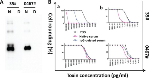 Serum neutralizing antibodies affect toxin detection limits of cell-based assays.Total IgG was depleted from serum samples by Protein A beads and the depletion was verified by western blot with HRP-conjugated anti-human IgG (γ-chain). The image illustrates the WB data of two samples before and after IgG depletion (A). N, serum before IgG depletion; D, IgG-depleted serum. Toxin detection limits were determined by cell-based assays for the spiked toxins in the sera before and after IgG depletion (B). 5× serially diluted recombinant TcdA or TcdB were spiked in the sera or PBS, and the samples were then applied to cells for overnight. Detection limit of TcdA (b) was determined by ICT using mRG1-1 cells, and TcdB (a) detection limit was assessed on Vero cells. Toxin detection limits were defined as the minimum concentration of toxins inducing at least 50% of cell rounding.