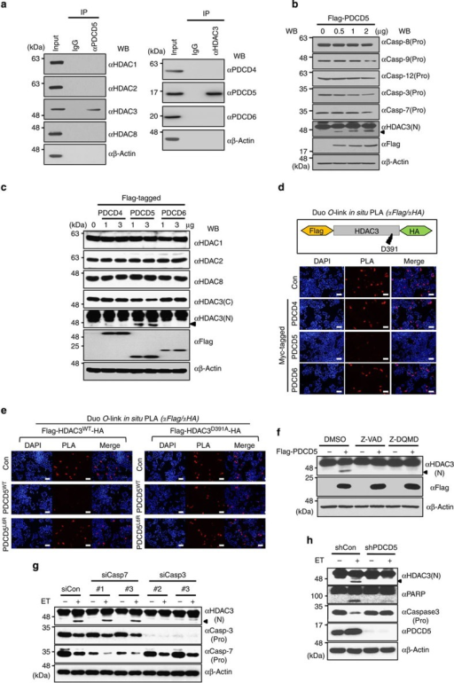 PDCD5 selectively binds to and mediates caspase-3-dependent cleavage of HDAC3 at Asp-391.(a) PDCD5 is an HDAC3-associating protein among PDCD proteins. Proteins from HCT-116 (p53+/+) whole-cell lysate were immunoprecipitated and subsequently immunoblotted with the indicated antibodies. (b) Overexpression of PDCD5 induces C-terminal cleavage of HDAC3. Cells were transfected with increasing amounts of Flag-PDCD5 plasmid. Whole-cell lysates were immunoblotted with the indicated antibodies. Arrow indicates cleaved HDAC3. (c) Overexpression of PDCD5 selectively triggers the cleavage of HDAC3, but not other class I HDACs. Cells were transfected with increasing amounts of PDCD plasmids. Whole-cell lysates were immunoblotted with the indicated antibodies. Arrow indicates cleaved HDAC3. (d,e) In vivo validation of PDCD5-mediated HDAC3 cleavage at Asp-391. HCT-116 cells were transfected with the indicated plasmids. Permeabilized cells were incubated with antibodies against HA and Flag, and then PLA probes were added. Positive signals were analysed using confocal microscopy. Red dots display uncleaved HDAC3. Representative images of three independent experiments are shown. (f) Inhibition of caspase-3 abrogates PDCD5-induced HDAC3 cleavage. HCT-116 cells were transfected with Flag-PDCD5 plasmid and treated with the indicated caspase inhibitors. (g) Depletion of caspase-3 abrogates ET-induced HDAC3 cleavage. Cells were transfected with siRNAs as indicated and treated with ET (100 μM, 12 h). Whole-cell lysates were immunoblotted with the indicated antibodies. (h) PDCD5 is required for caspase-3-dependent HDAC3 cleavage during ET treatment. Either shcontrol or stable shPDCD5-expressing HCT-116 cells was treated with ET. Whole-cell lysates were analysed by western blotting with the indicated antibodies. Scale bar, 10 μm.