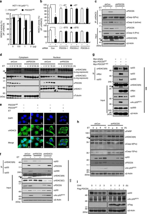 PDCD5 stabilizes p53 by inducing dissociation of the HDAC3–p53 complex and concomitantly triggering cytosolic cleavage of HDAC3.(a) Overexpression of PDCD5 reduces the activity of HDAC3. HCT-116 cells were transfected with the indicated plasmids. Whole-cell lysates were immunoprecipitated with anti-HDAC3 antibody, and then HDAC3 activity was measured. Error bars, s.d. (n=3). *P<0.05. (b) Depletion of PDCD5 abolishes the ET-induced reduction of HDAC3 activity. Cells were transfected with the indicated siRNAs. Cells were treated with ET (100 μM, 12 h) or STS (1 μM, 12 h) and assayed for HDAC3 activity. Error bars, s.d. (n=3). *P<0.05. (c) Knockdown of PDCD5 abrogates the association of HDAC3 with active caspase-3 in response to ET treatment. Whole-cell lysates were immunoprecipitated with anti-HDAC3 antibody, and subsequently immunoblotted with the indicated antibodies. Arrow indicates cleaved HDAC3. (d) Knockdown of PDCD5 prevents cytoplasmic cleavage of HDAC3 in response to ET treatment. Following cell fractionation, fractions were immunoblotted with the indicated antibodies. (e) Overexpression of PDCD5 enhances ET-induced cytoplasmic translocation of HDAC3. Immunofluorescence analysis was performed as described in the Supplementary Experimental Procedures Section. Representative images of three independent experiments are shown. (f) PDCD5 knockdown diminishes the ET-induced dissociation of HDAC3 from p53. Indicated shRNA-expressing HCT-116 cells were treated with ET. Whole-cell lysates were analysed by western blotting with the indicated antibodies. (g) Overexpression of PDCD5 dissociates HDAC3 from p53. Cells were transfected with PDCD5 plasmids. Immunoprecipitation and immunoblotting analyses were performed with the indicated antibodies. (h,i) PDCD5 increases p53 acetylation and stability via mediating HDAC3 cleavage. Cells were treated with ET (h) or cycloheximide (i) and subsequently immunoblotted with the indicated antibodies. Scale bar, 10 μm.