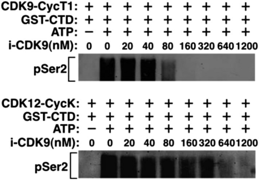 Recombinant CDK12-CycK is less sensitive to inhibition by i-CDK9.DOI:http://dx.doi.org/10.7554/eLife.06535.005