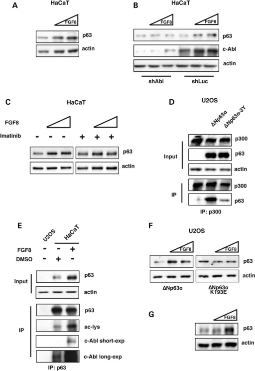 FGF8 positively regulates ΔNp63α protein stability inducing its interaction with c-Abl and promoting ΔNp63α acetylation. (A) WB analysis of HaCaT whole cell extracts treated with increasing amounts of FGF8 (0.5 ng/ml and 1 ng/ml) for 3 h. (B) WB analysis of HaCaT whole cell extracts stably transfected with an shRNA against c-Abl or shLuc plasmids, treated with increasing amounts of FGF8 (0.5 ng/ml and 1 ng/ml) for 3 h. (C) WB analysis of HaCaT cells treated with increasing amounts of FGF8 (0.5 ng/ml and 1 ng/ml) or pre-treated for 30 min with Imatinib (10 μM) followed by FGF8 treatment for 3 h. (D) U2OS whole cell extracts transiently co-transfected with either ΔNp63α or ΔNp63α-3Y (10 μg) and p300 (5 μg), and then analyzed by immunoprecipitation with an anti-p300 antibody followed by WB analysis with an anti-p63 antibody. (E) HaCaT whole cell extracts treated with FGF8 (0.5 ng/ml) or DMSO for 3 h were analyzed by immunoprecipitation with anti-p63 antibodies followed by WB analysis with the indicated antibodies. U2OS cells, not expressing p63 were used as negative control. (F) WB analysis of U2OS whole cell extracts transiently transfected with ΔNp63α or ΔNp63α-K193E encoding plasmids (30 ng). 24 h after transfection U2OS cells were treated with increasing amounts of FGF8 for 2 h (0.5 ng/ml and 1 ng/ml). (G) WB analysis of total proteins extracts from forelimbs isolated from wild-type mouse embryos at E11.5, cultured whole-mount for 48 h in the absence or presence of recombinant FGF8 (0.5 μg/ml and 1 μg/ml).
