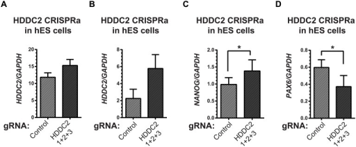 Activation of the endogenous HDDC2 locus using an inducible Cas9-VP64 system attenuates neural differentiation of human pluripotent stem cells.(A) Upregulation of the HDDC2 mRNA levels after 2 days of induction of activation in pluripotent hES cells. (B-D) Effect of Cas9-VP64-driven HDDC2 up-regulation on gene expression during the early stages (day 3) of neural differentiation. We observed that artificially-maintained levels of HDDC2 expression (B) resulted in more sustained NANOG expression (C) and lower induction of PAX6(D), a definitive neuroectodermal marker.