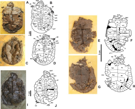 Neochelys franzeni HLMD-ME 14981, 15576, and 15375.(A)–(B) Articulated skeleton in dorsal view. (C)–(D) Articulated skeleton in ventral view. HLMD-ME 15576: (E)–(F) articulated skeleton in dorsal view. (G)–(H) Articulated skeleton in ventral view. NR 202/617: (I)–(J) articulated skeleton in dorsal view. Abbreviations: axb, axillary buttress; inb, inguinal buttress (see Fig. 1 for the other abbreviations and shadowed areas legend).