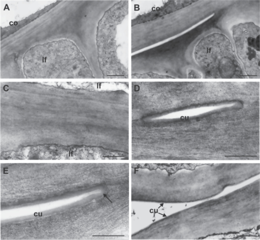 Transmission electron microscope micrographs of epidermal cell walls of coleoptile and first two leaves from the fdl1-1 mutant seedlings. (A) The cell wall proper of coleoptile and first leaf cannot be distinguished in a fused zone. (B) Distinct cell walls are visible in the free area adjacent to the fused one. (C) The higher magnification reveals the absence of any cuticular materials between the fused cell walls of two leaf surfaces. (D) A cuticle layer can be seen on the cell walls of the small free zone. (E) An evident continuous cuticle covers the free surfaces of the epidermal cells, also bordering the point of fusion (arrow). (F) The cuticle overlays the surfaces of two unfused leaf epidermises. co, coleoptile; cu, cuticle; lf, leaf. Bars: 1 μm (A, B); 0.5 μm (C, F); 0.25 μm (D, E).