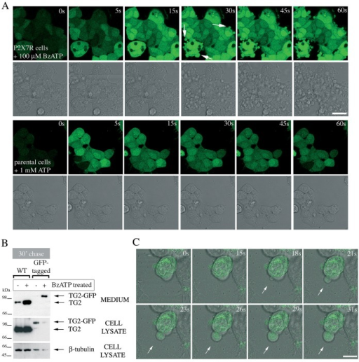 Membrane blebs induced by P2X7R activation contain TG2. (A) P2X7R signaling induces rapid membrane blebbing. Fluo-4-AM-loaded P2X7R cells were stimulated with BzATP while acquiring fluorescence and phase-contrast images by real-time microscopy to visualize morphological changes and Ca2+ signaling simultaneously (top). Membrane blebs are indicated by arrows. ATP stimulation of parental cells induces oscillating Ca2+ signals but no overt morphological changes (bottom). Scale bar: 25 µm. (B,C) TG2 redistributes into membrane blebs. To confirm export of tagged TG2, TG2- (wild-type, WT) or TG2–GFP-expressing P2X7R cells were stimulated with 100 µM BzATP for 10 min, chased for 30 min in agonist-free medium, followed by analysis of conditioned media and cell extracts for TG2 by western blotting (B). To localize GFP-tagged TG2 during BzATP stimulation, real-time confocal microscopy was employed. Genesis of a membrane bleb is depicted (arrows), with an optical section of GFP fluorescence overlaid onto phase-contrast images to correlate morphological changes with changes in TG2 distribution (C). Scale bar: 10 µm.
