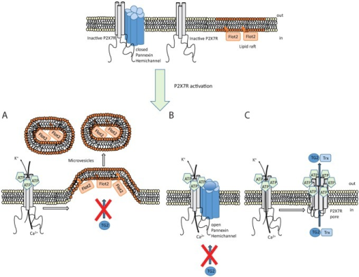 Mechanism controlling TG2 export. Schematic showing different events occurring upon P2X7R activation by ATP. (A) Ion channel activity triggers intracellular signaling that results in actin reorganization and microvesicle shedding. However, these microvesicles do not contain TG2. (B) Coupling between P2X7R and pannexin-1 triggers hemichannel pore opening. TG2 secretion is unaffected by blocking pannexin-1 channels. (C) P2X7R itself can form a membrane pore through conformational changes and, possibly, receptor oligomerization in a process that involves the extended intracellular C-terminal sequence. TG2 secretion is associated with this membrane pore activity but independent of ion channel function, and occurs in conjunction with thioredoxin-1 (Trx) externalization. As thioredoxin can reactivate TG2 functionally blocked in an oxidized state, this might ensure that externalized TG2 has transamidation activity. Flot2, flotillin-2.