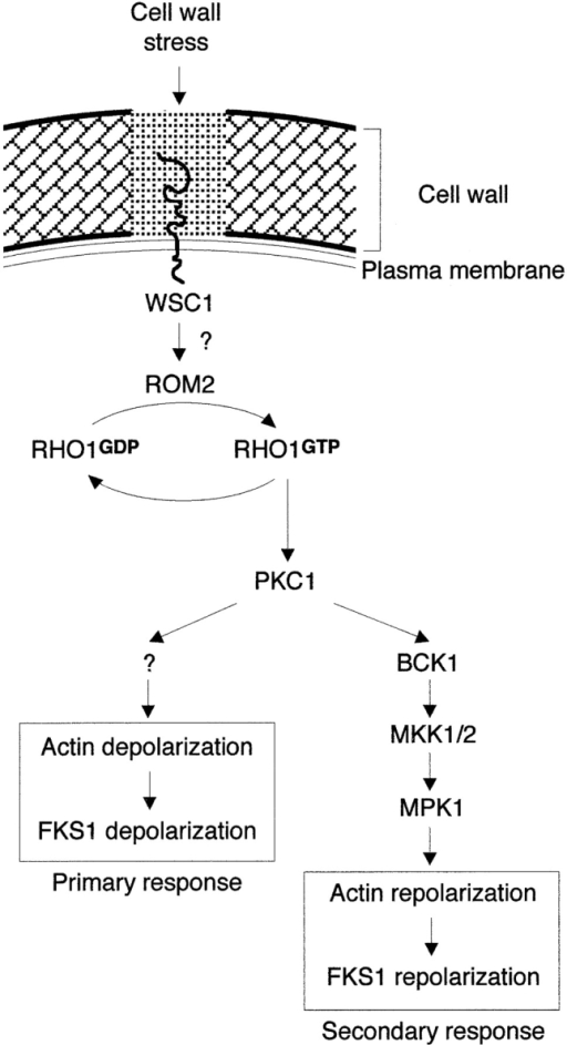 Model for the regulation of actin cytoskeleton and FKS1 distribution upon cell wall stress (see Discussion for further details).