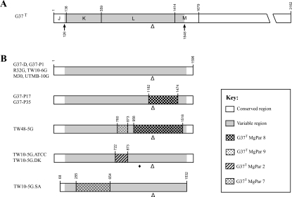 MG192 sequence variation among M. genitalium ATCC strains and their derivatives cultured in vitro. A. Diagram of the full-length MG192 gene of G37T, as shown in Fig. 1. B. Schematic drawing of the MG192 variable regions from M. genitalium strains cultured in vitro (see Table 1). Regions showing the longest stretch of sequence identity with the MgPars of G37T are indicated by identical patterns, as shown in the key. Numbers bordering each shaded area correspond to the nucleotide positions in the full-length MG192 gene of G37T. Triangle indicates the location of the AGT tandem repeats, with detailed information on repeat numbers shown in Table 2. Diamond indicates a single-nucleotide substitution from A to G. The sequences of the MG192 genes for G37-P35, TW48-5G and TW10-5G.ATCC have been submitted to GenBank under Accession No. EF117280, EF117281 and EF117282 respectively.