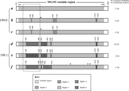 representation of MG192 sequence variation and rapid shift identified in two sequential samples (No. 199.0 and 199.1) obtained 10 days apart from an M. genitalium-infected patient. A total of six MG192 variants (a to f) were identified from these two specimens, with three variants present in each specimen. The sequence of the variant a, which is the most predominant variant from the first specimen, is considered the prototype. Various patterns in other five variants represent regions that are different from the variant a and instead have homology to MgPars identified in this patient, as indicated by the key. The diamond indicates single-nucleotide substitutions, which can be traced to a specific MgPar sequence, whereas the star indicates single-nucleotide substitutions, which are not present in any other MG192 variants or MgPars. Numbers above each region refer to the nucleotide positions in the full-length MG192 of the variant a. Detailed nucleotide sequences for the regions included in the box with dashed lines are given in Fig. 6. The number of plasmid clones analysed for MgPars in the patient specimens is listed in Table 3. All clones analysed for each MgPar showed the same sequence except for the triplet repeat number variation in MgPars 2 and 8. The sequences of MG192 variants a to f and MgPars 1 through 9 identified from this patient's strain have been submitted to GenBank under Accession No. EF117283 to EF117288 and EF117293 to EF117301 respectively.