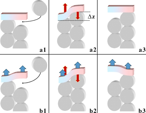 Stages of leaky capping driven by pulling force and elasticity of formin dimer. Actin subunits are represented by gray discs. The formin dimer is shown as a bar consisting of blue and pink halves (hemidimers). (a) Actin polymerization in the absence of pulling force. (a1) Formin dimer is in a nondeformed state; it is bound to the protruding but not to the recessed actin subunit, thereby leaving a vacancy for a new actin monomer to insert. (a2) An actin monomer inserts into the existing vacancy and binds to the formin hemidimer and the recessed actin subunit. The two binding events are energetically favorable and accompanied by release of energies ɛAB and ɛAF, respectively. At the same time, the formin dimer and, probably, the terminal actin subunits involved in interaction with formin undergo deformation, resulting in a relative shift of the formin hemidimers by distance Δz ≈ 2.75 nm, characterizing the helix periodicity of an actin filament (Lorenz et al., 1993). This results in accumulation of elastic energy ɛEL and development of elastic force fEL (red arrows) tending to restore the initial relative position of the formin subunits. (a3) Elastically driven detachment of formin from the recessed actin subunit accompanied by relaxation of the elastic energy, ɛEL → 0, and elastic force, fEL → 0, at the expense of the actin-formin binding energy. This results in creation of a new vacancy for the next actin monomer. (b) Actin polymerization in the presence of pulling force (blue arrows). Insertion of the new actin monomer (b2) and detachment of formin from the recessed subunit (b3) are facilitated by the pulling force, which reduces the energy of each of these stages by fpull · Δz. As a result, the critical actin concentration required for polymerization at the barbed end is reduced dramatically compared with the critical concentration in the absence of the force.