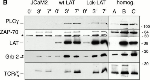 (A) TCR-LAT assembly formation requires palmitoylation of LAT. LAT-deficient ANJ3 cells and ANJ3 cells reconstituted with WT or palmitoylation-deficient C26/29A LAT were used for α-CD3 immunoisolation. Immunoisolates were analyzed by Western blot using antibodies against the indicated antigens. A, B, and C show relative amounts of proteins in 1/10 of pelleted homogenates of ANJ3, ANJ3 wt LAT, and ANJ3 C26/29A derivatives, respectively (exposure times were 1/3 of the immunoisolates). (B) LAT with a Lck raft membrane anchor accumulates in TCR immunoisolates. LAT-deficient JCaM2 cells, JCaM2 expressing wt LAT, and Lck-LAT were subjected to α-CD3 immunoisolation. A, B, and C show relative amounts of proteins in 1/10 of pelleted homogenates of JCaM2, JCaM2 wt LAT, and Lck-LAT, respectively. Asterisks mark the position of Ab heavy chain; closed circles mark the position of the Ab light chain. The positions of molecular mass markers (in kilodaltons) are shown.
