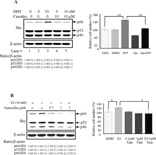 Effects of steroids on p66Shc protein levels in PCa and OVa cells and their proliferation.LNCaP C-33 and CAOV-3 cells were plated in duplicates in the regular medium as described in the methods for 72 h and then maintained in a steroid-reduced medium for 48 h. Cells were treated with steroids plus or minus the corresponding antagonists as specified in each figure for 48 h. After harvested, lysates were analyzed by western blotting with Abs against total Shc and β-actin protein, respectively. The level of β-actin protein was detected as a loading control. The intensity of each Shc protein hybridization band was semiquantified, and the ratio to the corresponding β-actin protein was calculated and then normalized to that of corresponding control cells which received the solvent alone. To determine cell growth, cell number was analyzed by cell counting. The figure is a representative of three sets of independent experiments in duplicates and the cell growth is expressed as means ± SE (n = 3). (A) LNCaP C-33 cells were treated with or without DHT (10 nM), plus or minus casodex (10 µM) for 48 h. Left panel: Lane 1, cells received EtOH as a control; Lane 2, cells received DMSO as a control; Lane 3, cells received DHT in EtOH; Lane 4, cells received casodex in DMSO; Lane 5, cells received both DHT & casodex. Right panel: Cell growth was analyzed by cell counting. (n = 2×3, **P<0.001). (B) Left panel: CaOV-3 cells treated without or with E2 (10 nM), tamoxifen (0.1 and 1 µM) for 48 h. Right panel: Cell growth was analyzed by cell counting. (n = 2×3, *P<0.05). SD, Standard deviation.