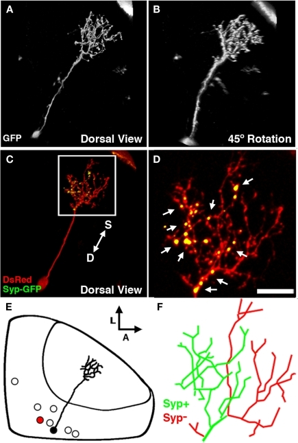 The non-stratified periventricular interneuron cell type. (A) Dorsal view of a two-photon image volume containing a single labeled nsPVIN imaged at 5 dpf. Note the long apical neurite extended into the neuropil. (B) Forty-five degree rotation of image volume in (A). Note the absence of any stratification within the arbor. (C) Merged confocal image volume of a single 4 dpf nsPVIN expressing both dsRed (red) and Syp–GFP (green). Arrow depicts orientation of neuropil layers from superficial (S) to deep (D). (D) 2.5× magnification of boxed region in (C). Note the bright Syp–GFP puncta contained within a subset of neurite branches (arrows). (E) Schematic depiction of nsPVIN cell body distribution throughout the SPV layer. Cell traced in black corresponds to neuron in (A) and (B). Note the deep SPV location of cell body. (F) Manual tracing of the neurite arbor in (D). Green lines indicate branches containing Syp–GFP puncta, whereas branches devoid of Syp–GFP labeling are in red. Scale bar, 20 μm in (A–C), 8 μm in (D,F).